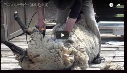 アニマルセラピー(羊の毛刈り)